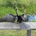 Tiere in den Everglades