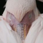 Verschlafene Pelikane