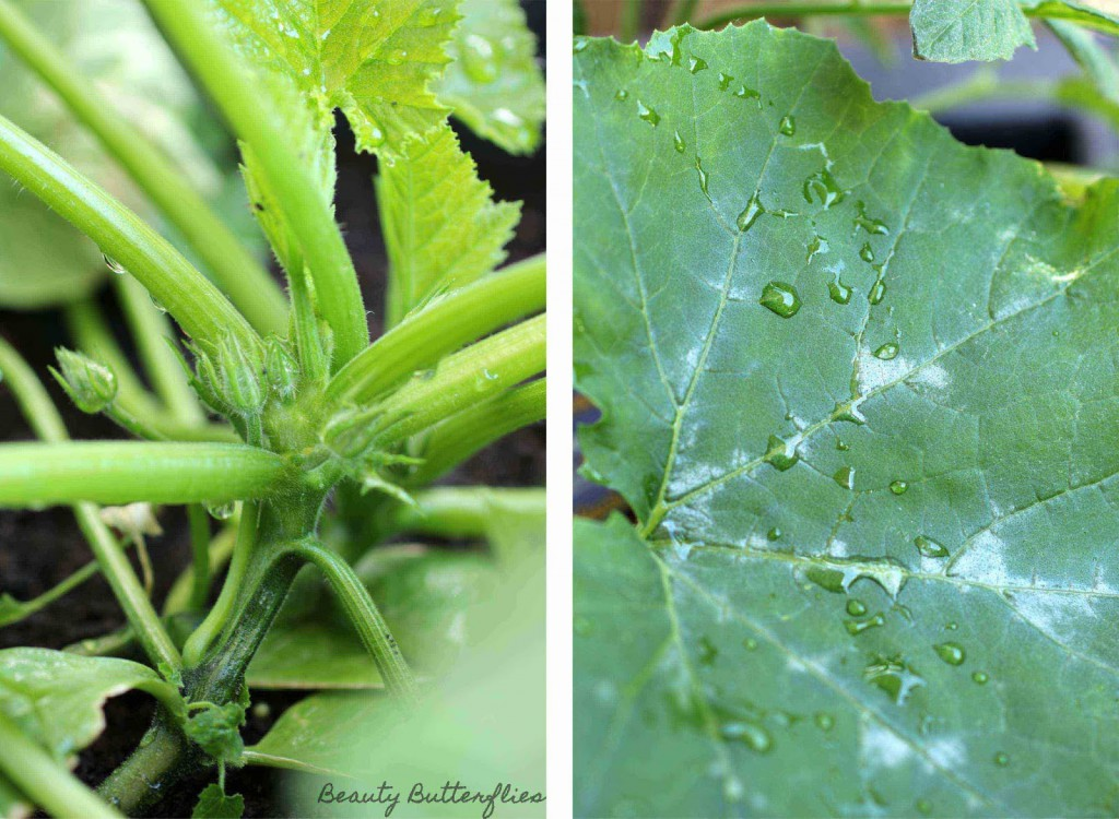 erkennen männliche zucchinibluete