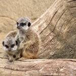 Mehr Zucker geht nicht – Erdmännchen Babys im Zoo Hannover