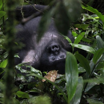 Unique Uganda III – Gorilla-Trekking… Once in a lifetime!