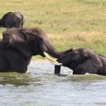 Unique Uganda V Babyparade – Elefanten und Hippos im QNP