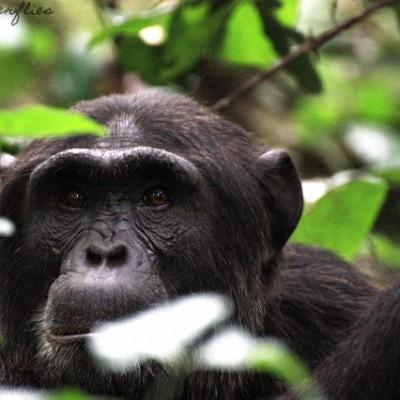Unique Uganda VI  Schimpansen Trekking in Kibale
