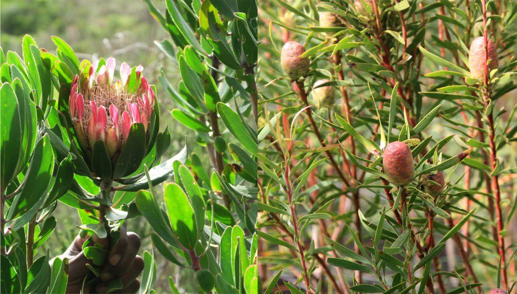 3 Grootbos Nature Reserve Sing meinen Song Protea- www.beautybutterflies.de