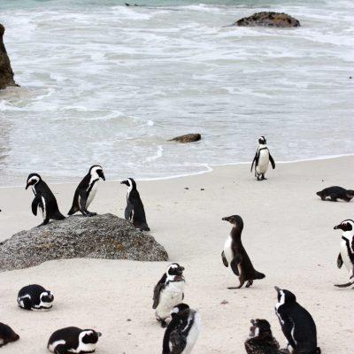 Südafrikas Kaphalbinsel – Knuffige Pinguine und raue Ozeane