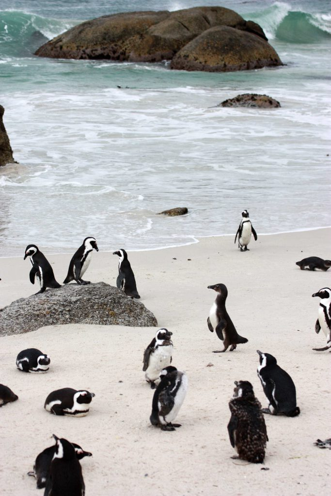 4 Boulders Beach Penguins South Africa - www.beautybutterflies.de