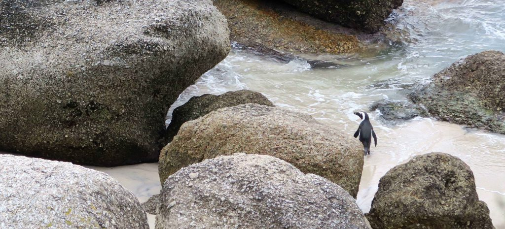 5 Boulders Beach Penguins South Africa - www.beautybutterflies.de