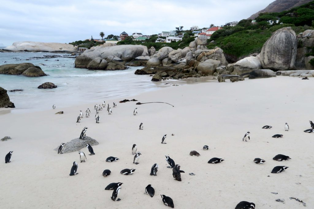 7 Boulders Beach Penguins South Africa - www.beautybutterflies.de