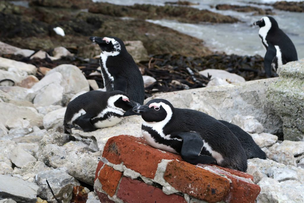 Bettys Bay South Africa Penguins 3 - www.beautybutterflies.de