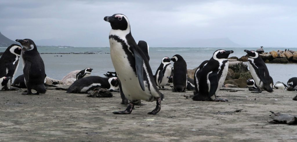 Bettys Bay South Africa Penguins 6 - www.beautybutterflies.de