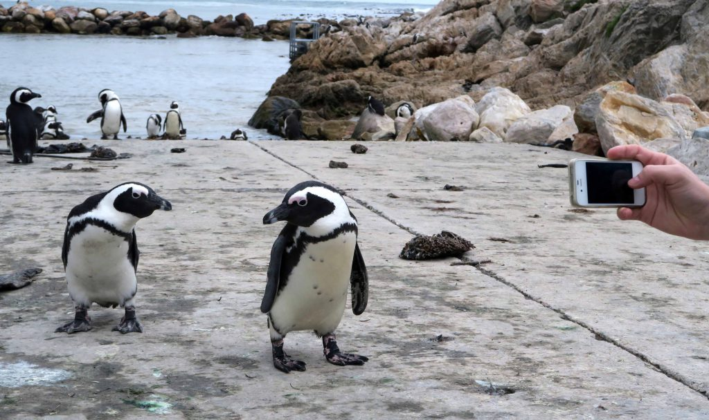 Bettys Bay South Africa Penguins Smartphone Pic - www.beautybutterflies.de