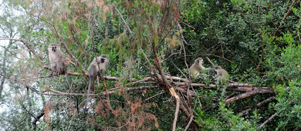 Tsitsikamma National Park Monkeys - www.beautybutterflies.de