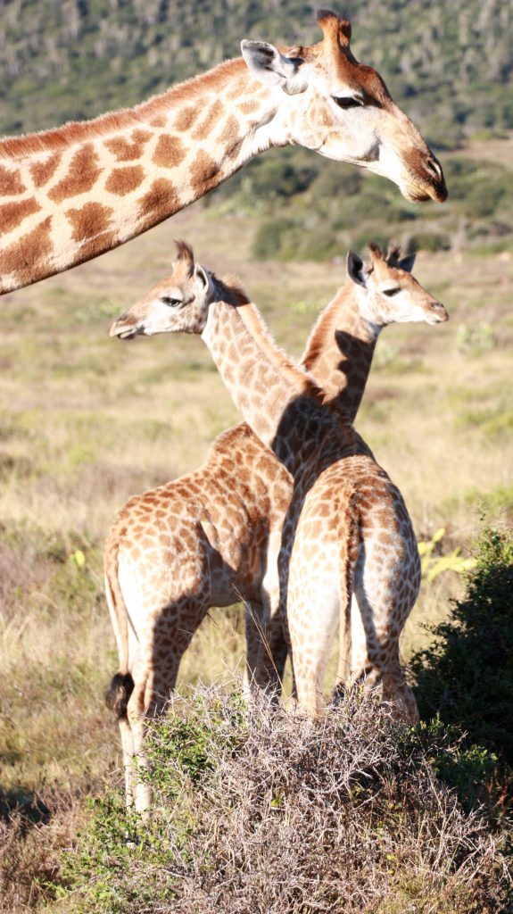 Kariega Private Game Reserve South Africa Giraffen familie - www.beautybutterflies.de_19