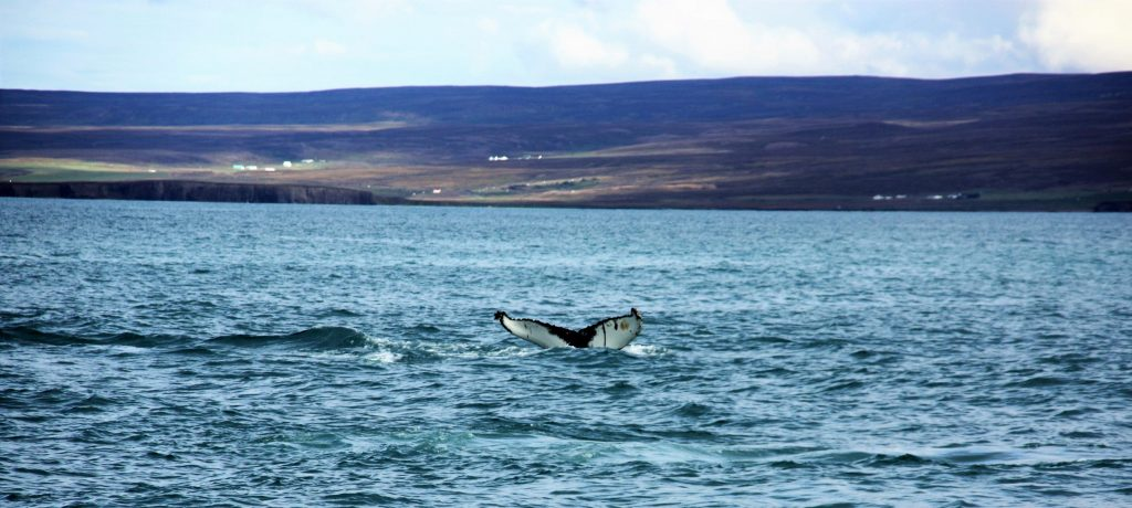 wale-watching-north-sailing-husavik-iceland-humpback-www-beautybutterflies-de-5