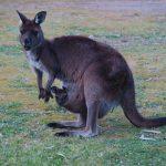 2 Tage auf Kangaroo Island – Meine 8 Highlights der Tour