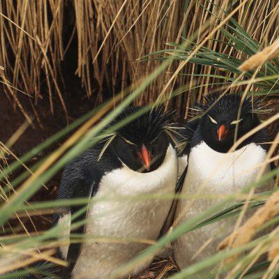 Antarktis Tagebuch #3 – Pinguin- und Albatross-Kolonien auf den Falklandinseln