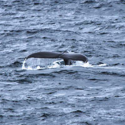 Antartkis Tagebuch #6 – Whale Watching und Seetage-Stress