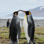 Antarktis Tagebuch #12 – Das verrückte Paarungsverhalten der Seeelefanten