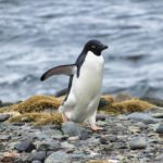 Antarktis Tagebuch #15 – Putzige Adelie Pinguine & Forschungsstation